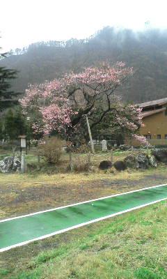 逆さ桜咲く